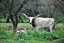 2020 ST PEACE OF LACE BULL CALF